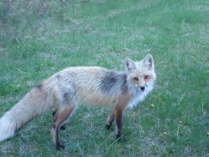 PEI Fox copy