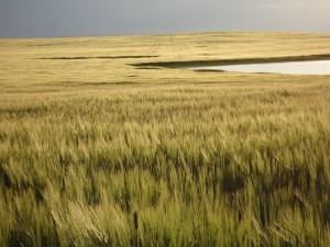 Wheat Sask